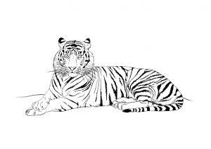 dessin-tigre-2